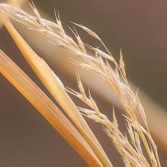 Winter grass (mariannedeselle) Tags: winter grass goldengrass