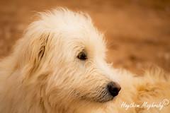 Dog (haythammaghraby) Tags: dog nature animal animals nikon sa ksa nikon3200 turaif