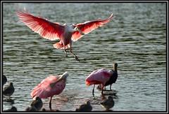 Roseate Spoonbill (Ajaja ajaja) (Bob Garrard) Tags: island j florida wildlife n national sanibel darling ding refuge spoonbill roseate ajajaajaja