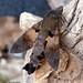 Macroglossum semifasciata (Hampson, 1892)