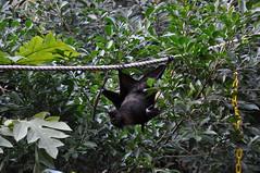 Flying Fox (Ryan Hadley) Tags: usa animals orlando florida bat disneyworld waltdisneyworld flyingfox animalkingdom fruitbat maharajahjungletrek