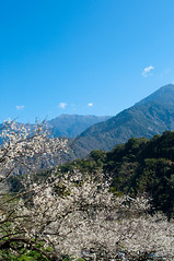Plum Blossoms (ToddinNantou) Tags: flowers taiwan   plumblossoms  nantou  d90  sigma28mmf18 xinyitownship