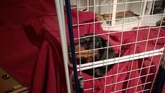 Kaapo vankilassa, Kaapo in prison (verbeek_dennis) Tags: dachshund tax kaapo dashond myrkoira  gravhund jazvek tksa