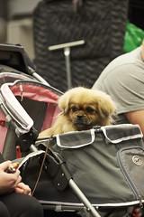 MyDOG 2015 Tibetansk spaniel (Svenska Mässan) Tags: dog dogs hund spaniel dogshow mydog hundar tibetansk svenskamässan hundutställning hundtävling tibetanskspaniel hundmässan sällskapshund västrakennelklubben hundmässa hundevenemang mydog2015