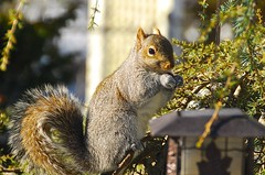 A perfect pose for me! eating Cranberries. (ineedathis, the older I get, the more fun I have!) Tags: morning winter tree nature sunshine animal garden furry squirrel eating feeder evergreen cranberries needles easterngraysquirrel dryfruit nikond80 ornamentaltree weepingatlascedar sciouruscarolinensis