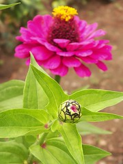 100_9845 (Cassiope2010) Tags: nature fleur plante zinnia cvennes