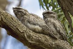 Tawny chicks 2015-01-11 (_MG_0562) (ajhaysom) Tags: australia melbourne tawnyfrogmouth podargusstrigoides greenvale canoneos60d sigma120400 woodlandshistoricpark