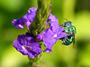 Green Orchid Bee (Euglossa dilemma) on Blue Porterweed (Stachytarpheta jamaicensis) (celerycelery) Tags: macro nature animal bug insect critter wildlife insects bee critters greenbee arthropod othercritters beemacro floridabee
