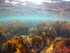 IMG_10811 (nativemarine) Tags: scotland underwater fife lobster snorkelling standrews kingsbarns