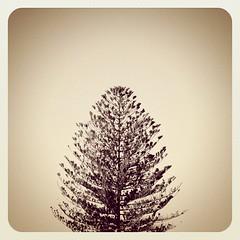 Pine #tree  #minimalism #lessismore #whitespace... (jen_journal) Tags: tree jj minimalism photooftheday whitespace lessismore earlybird iphone4 bestoftheday iphoneography iphonesia jjforum earlybirdlove uploaded:by=flickstagram twittey888 instagram:photo=1319553271047475