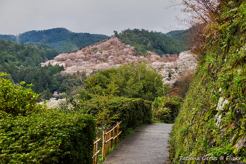 Path to the magical world of flowering cherries