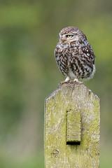Little Owl (ToriAndrewsPhotography) Tags: photography andrews post little bokeh hide owl tori