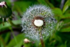 IMG_7925 (kween_beek) Tags: nature wisconsin outdoors weed dandelion wish wildflower wi