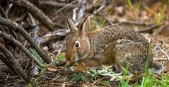 Cottontail Rabbit (thefisch1) Tags: rabbit lens fur interesting nikon outdoor eating hills kansas mm 500 flint woodpile cottontail lagomorph nikor muching