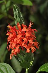 cardinal's guard (Pachystachs Coccinea) (DOLCEVITALUX) Tags: philippines coccinea pachystachs cardinalsguardflowerflowersflorafaunamedicinalplants
