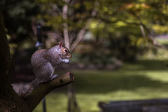 Hyde Park Squirrel (Limes Wright) Tags: nature animal squirrel bokeh wildlife hydepark greysquirrel
