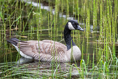 Canadian Goose (Chris Parmeter Photography (smokinman88)) Tags: bird nature water animal sport geotagged washington nikon sigma canadian goose habitat d810 150600mm