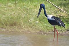_DSC4592 (slackest2) Tags: black bird water kakadu northern stork territory necked jabaru