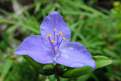 New Orleans - Little Bluejacket (Drriss & Marrionn) Tags: flowers usa plant flower macro nature outdoor neworleans stems commelinaceae plantae wildflower neworleansla bluejacket tradescantiaohiensis ohiospiderwort commelinales taxonomy:subclass=magnoliidae taxonomy:genus=tradescantia taxonomy:phylum=tracheophyta taxonomy:order=commelinales taxonomy:binomial=tradescantiaohiensis taxonomy:species=ohiensis taxonomy:class=spermatopsida taxonomy:superorder=lilianae infinitexposurel1 neworleanscitytrip taxonomy:subtribe=tradescantiinae taxonomy:tribe=tradescantieae taxonomy:subfamily=commelinoideae taxonomy:damily=commelinaceae