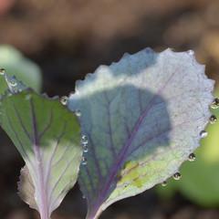 Rotkraut (stefanielaiminger) Tags: rotkraut blaukraut gardening garden macro water drops wassertropfen morgentau