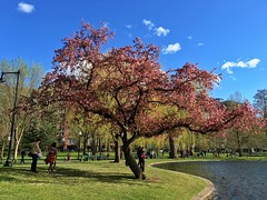 Fading spring ((Jessica)) Tags: flowers people sun tree boston clouds spring downtown massachusetts newengland sunny bluesky cherryblossoms bostoncommon cherrytree publicgarden pw