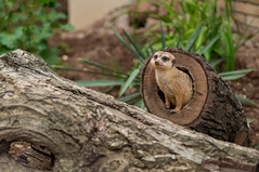 Meerkat (adnanefs) Tags: cute zeiss interesting meerkat small valley pioneer playful dolina pionirska