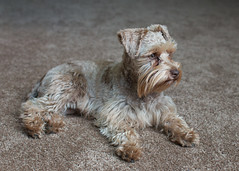 Tripping hazard (Cheryl3001) Tags: dog canon chocolate 28mm schnauzer liver 70d