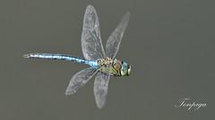 Quattro ali indipendenti (Tonpiga) Tags: macro insetti libellula tonpiga