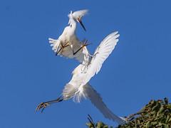 Karate Kid in the Air (OC Birds) Tags: california bird nature animal wildlife birdsinflight orangecounty snowyegret