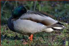 Mallard (Full Moon Images) Tags: bird nature duck wildlife sandy bedfordshire reserve lodge mallard thelodge rspb