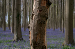 The tree trunk (rvanhegelsom) Tags: wood flowers blue trees plant flower color colour tree green nature floral beautiful bluebells fairytale forest landscape spring woods flora colorful belgium natural magic trunk colourful