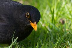 IMG_1600-Merel.jpg (markkras-fotografie) Tags: turdusmerula blackbird merel
