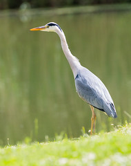 Heron 3 (bboozoo) Tags: bird heron canon70d tamron150600