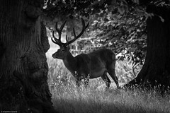 Stag (mjsearle121) Tags: park trees white black animals mono stag wildlife surrey deer antlers fullframe fx bushypark d610 matthewsearle sigma150500mm mjsearle121 nikond610