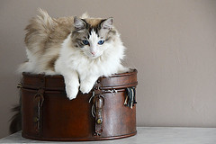 dur la vie de chat!!!! France_6685 (ichauvel) Tags: chat cat flin feline animal pet domestique boite  chapeaux hats box attitude assis sitting allong lay down portrait yeux eyes bleu blue close up interieur inside paris ile de france europe western ragdoll beaut beauty faune getty