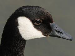 Canada Goose (annkelliott) Tags: canada calgary bird texture nature water closeup lumix spring pond adult bokeh outdoor feathers headshot goose panasonic alberta waterfowl sideview ornithology canadagoose brantacanadensis avian wetland bridlewood aquaticbird annkelliott anneelliott fz200 fz2003 10april2016