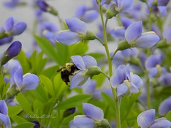 """""""The more you are motivated by love, the more fearless and free your action will be.""""  ~ Dalai Lama ~ (NaturewithMar) Tags: flower green spring purple blossom flor bee 2016 nikoncoolpix l330"""