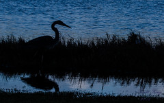 Heron Silhouette - early morning (explored 6-12-16) (dbking2162) Tags: ocean bird beach nature water birds animal florida fort wildlife shore myers
