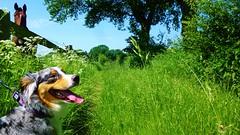 Happy Dog (obscure.atmosphere) Tags: light horse dog paisajes chien naturaleza sun sunlight primavera nature sunshine cane forest germany landscape deutschland licht spring bush woods jung shepherd hamburg natur selva australian young sunny hond perro hund bosque lumiere pies paysage region landschaft sonne  wald foret  pferd printemps pes frhling   anjing   ligero hundo  kpek inja  naturista    koira gebsch     ch
