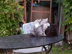 10062016N13 (starezubre) Tags: gatti giardino 2016 gattini mamme giocchi