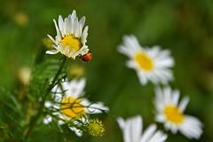 ...BACK (JoannaRB2009) Tags: flower spring meadow nature closeup insect ladybug ladybird zgnieboto dzkie lodzkie polska poland