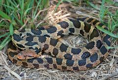 Eastern Fox Snake (Nick Scobel) Tags: nature pine snake michigan wildlife fox endangered eastern elaphe threatened pantherophis gloydi