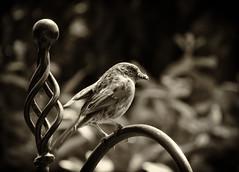 Dunnock  .. The Little Brown Bird (Missy Jussy) Tags: life trees summer bw bird monochrome gardens mono blackwhite feeding bokeh wildlife dunnock breeding smallbirds britishsummertime littlebrownbird canonpowershotsx60