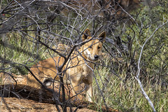 Dingo in the bush (Consuelo Vergara Mendez) Tags: australia outback dingo alicesprings