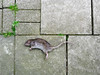 Special delivery (sans eyes) (taylordidthis) Tags: city urban abstract london lines vertical horizontal cat dead rat body wildlife profile gift offering killed hackney corpse pest clapton tomcat hackneymarshes carcas pavingslabs commonrat