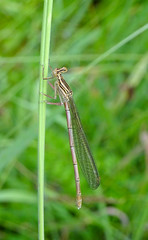 Platycnemis pennipes - Serres/Arget - juin 2016 (sylvainr09) Tags: whiteleggeddamselfly platycnemispennipes agrionlargespattes