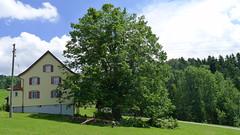 P1100939 (arborist.ch) Tags: tree baum treeclimbing arborist treecare baumpflege arboriculture