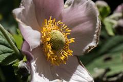Herbstanemone - Autumn anemone (anemone hupehensis) (riesebusch) Tags: berlin garten marzahn