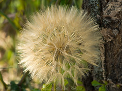 Dandelion (Alejandro Hernández Valbuena) Tags: summer sun sunlight flower nature beautiful beauty liberty fly flying spring weed flora heaven bright walk background breath seed blow dandelion environment wish breeze enjoyment