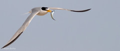 Least Tern (bbatley) Tags:
